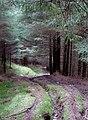 Bridleway through the Tywi Forest, Powys - geograph.org.uk - 1501153.jpg