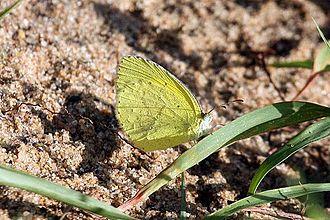 Eurema brigitta - E. b. brigitta, Mabibi, KwaZulu-Natal, South Africa