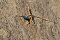 Broadley's Flat Lizard (Platysaurus broadleyi) male (6892991790).jpg