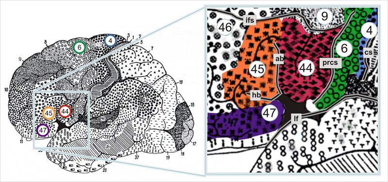 File:Brodmann areas of human lateral frontal cortex.png