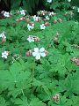 Brodziszek korzeniasty białokwiatowy Geranium macrorrhisum var. albiflorum.jpg