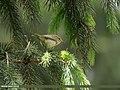 Brooks's Leaf Warbler (Phylloscopus subviridis) (28954134147).jpg