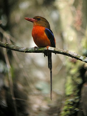 Kingfisher - The paradise kingfishers of New Guinea have unusually long tails for the group.