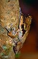 Brown-striped Tree Frog (Polypedates macrotis) (14006417390).jpg