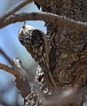 Brown Creeper (albescens-alticola) (33094198544).jpg