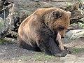 Brown bear at Alpenzoo in Tyrol.jpg