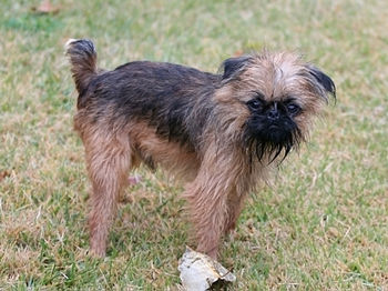 English: brussels griffon weights 7 pounds, co...