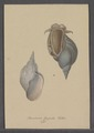 Buccinum stagnale - - Print - Iconographia Zoologica - Special Collections University of Amsterdam - UBAINV0274 085 06 0012.tif