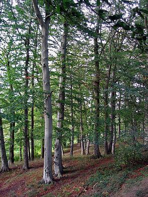 Rotbuche (Fagus sylvatica), Rotbuchenwald