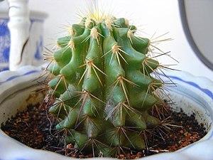 Bunga cactus