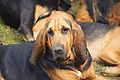 Burne Bloodhounds, Cheshire Game and Country Fair 2014 1.jpg