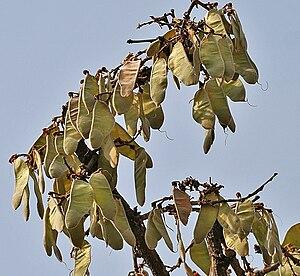 Butea - Butea monosperma fruits.