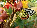 Butterfly with yellow colour 02.jpg