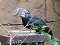 Bycanistes brevis -Bird Kingdom, Niagara Falls, Canada-8a.jpg