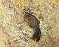 CHIPMUNK, CLIFF (Tamias dorsalis) (7-7-11) boyce thompson arboretum, pinal co, az -01 (5913438385).jpg