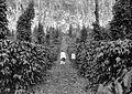 COLLECTIE TROPENMUSEUM Java koffiestruiken onder dadap met peperranken op een onderneming TMnr 10024162.jpg