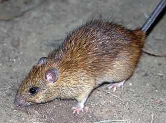 Black rat - A black rat, Rattus rattus