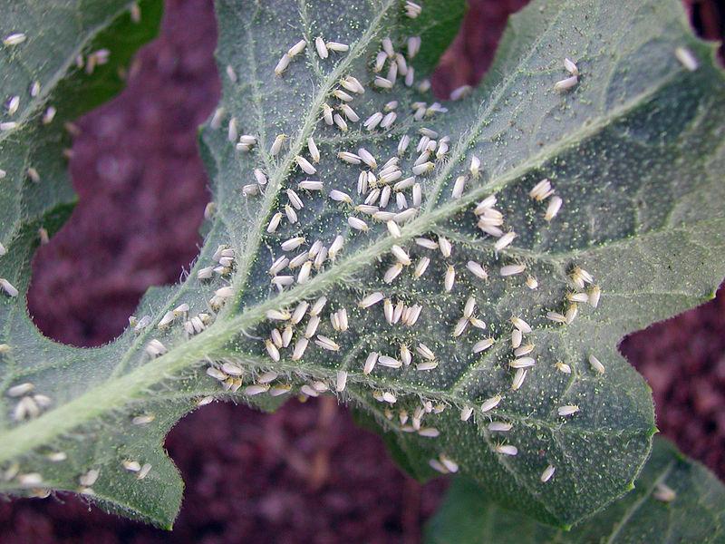 File:CSIRO ScienceImage 7704 Silverleaf whitefly Bemisia tabaci biotype B.jpg