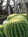 Cactus at Kalimpong.jpg