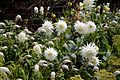 Cactus dahlia 2.jpg