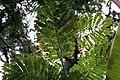 Caesalpinia pulcherrima 21zz.jpg