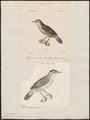 Calamodyta melanopogon - 1700-1880 - Print - Iconographia Zoologica - Special Collections University of Amsterdam - UBA01 IZ16200101.tif