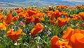 California Poppies (32727516633).jpg