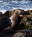 California sea lions in La Jolla (70445).jpg