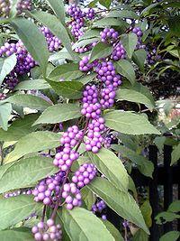 Callicarpa japonica berry leaf