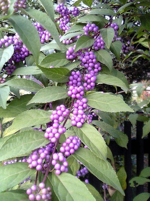 500px-Callicarpa_japonica_berry_leaf.jpg