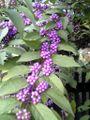 Callicarpa japonica berry leaf.jpg