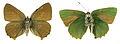 Callophrys rubi SLU.JPG