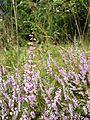 Calluna vulgaris sl4.jpg