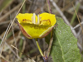 Calochortus luteus - Flickr 005.jpg