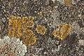 Caloplaca sp. and Lecanora muralis (27964326048).jpg