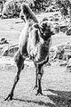 Camel (14443401007).jpg