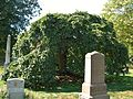 Camperdown Elm Tree, Green-Wood Cemetery, Brooklyn, NY - September 19, 2015.jpg