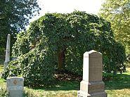 Camperdown Elm Tree, Green-Wood Cemetery, Brooklyn, NY - September 19, 2015