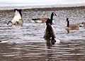 Canada Geese and Greater Scaup (25558897130).jpg