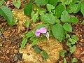 Canavalia gladiata-2-peppara wildlife-kerala-India.jpg