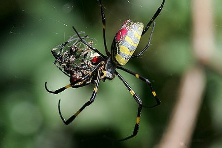 Nephila sp. eating a conspecific Cannibalization(silk spider).jpg