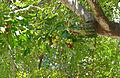 Cape Ash (Ekebergia capensis) (17287690206).jpg