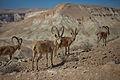 Capra ibex nubiana near Kibbutz Sde Boker.jpg