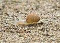 Caracol con los cuernos al sol 01- little snail (286621812).jpg