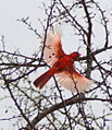 Cardinal doing the angel wing.jpg