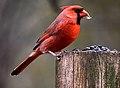 Cardinalis cardinalis1.jpg