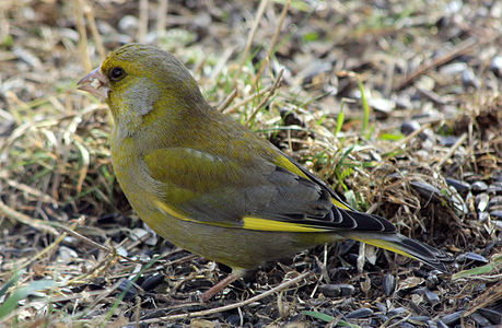 Bird Carduelis chloris in winter