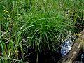 Carex-montana.jpg