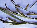 Carex acutiformis inflorescens (29).jpg