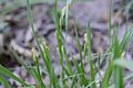 Carex pallescens (7313744496).jpg